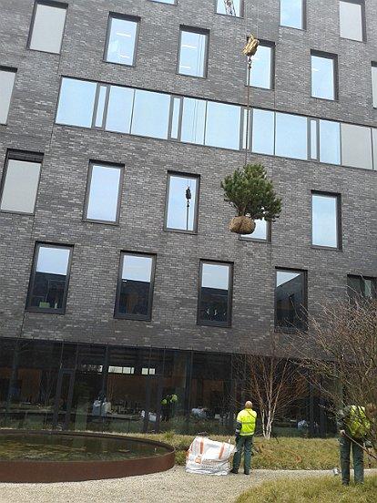 Met een kraan takelden we de bomen naar de binnentuin van DMG in Waalwijk.