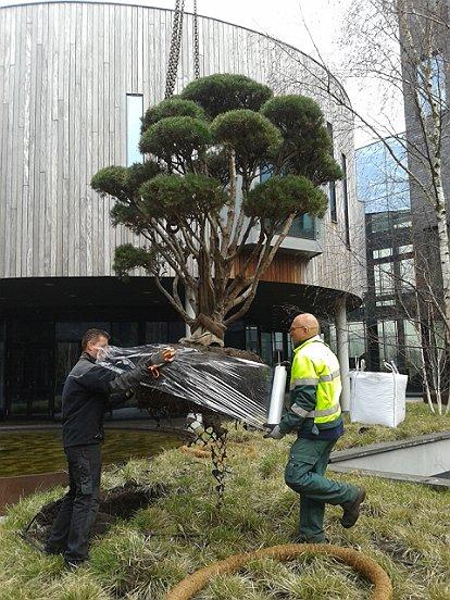 En aan de andere kant gaven we de boom een mooie plek in de strakke binnentuin van DMG.